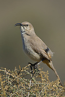 581970019 a wild lecontes thrasher toxostoma lecontei perches on a desert plant in kern county california united states