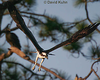 0112-0906  Flying Osprey Over Water Looking for Fish, Pandion haliaetus  © David Kuhn/Dwight Kuhn Photography.