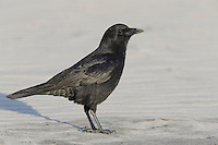 American Crow - Corvus brachyrhynchos - Adult