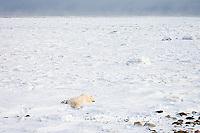 01874-110.07 Polar Bear (Ursus maritimus)  near Hudson Bay, Churchill  MB, Canada