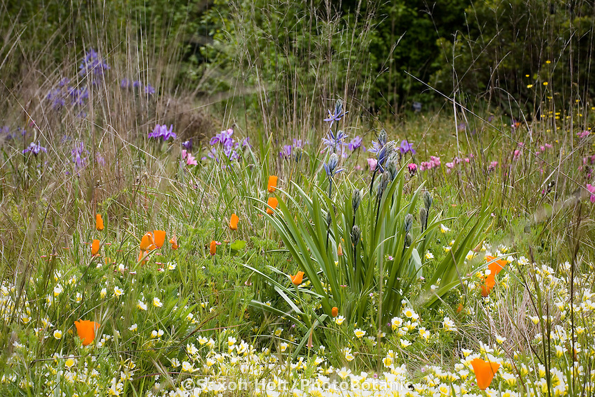 Camas Lily ( Camassia quamash) bulb in California native plant spring meadow garden with poppies, meadowfoam and fescue grass