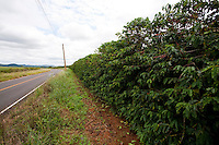 Divisa Nova_MG, Brasil...Plantacao de cafe proximo a uma rodovia em Divisa Nova...Coffee plantation next to a highway in Divisa Nova...Foto: LEO DRUMOND / NITRO