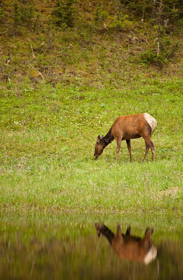 A single cow elk is reflected in a still pond as it grazes along the shoreline.