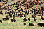 Buffalo herd in Custer State Park, South Dakota