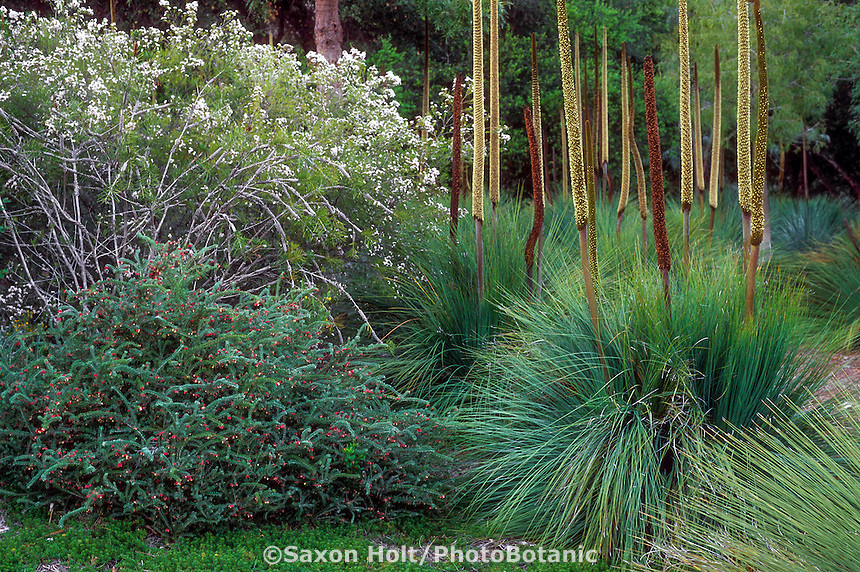 Australian plants in California garden; white flowering Chamelaucium 'Lady Stephanie' (Geraldton Waxflower) with Grevillea lanigera and Xanthorrhoea preissii (grass tree)