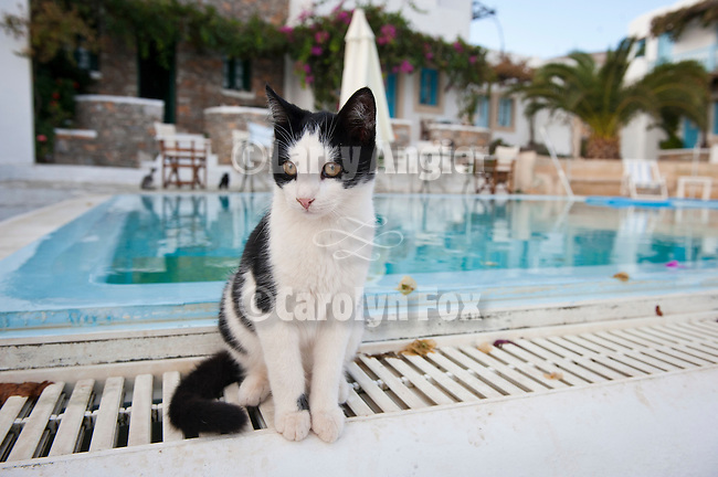 Black and white cat sitting by the pool, Ampelos Resort , Folegandros, Cyclades, Greece