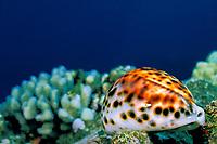 tiger cowrie or cowry, Cypraea tigris, Kona Coast of Hawaii Island, the Big Island, Hawaiian Islands, USAA (Pacific Ocean)