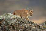 A puma walks along the rocky ridge in Patagonia, Chile.