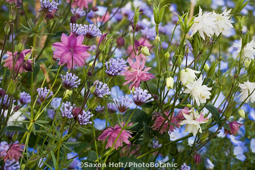 Spring bedding flowers, Asperula orientalis 'Blue Woodruff, and Aquilegia Columbine 'Rose, White Barlow' in Filoli garden