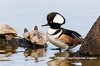 00766-00707 Hooded Merganser (Lophodytes cucullatus) male on log in wetland with turtles Marion Co. IL