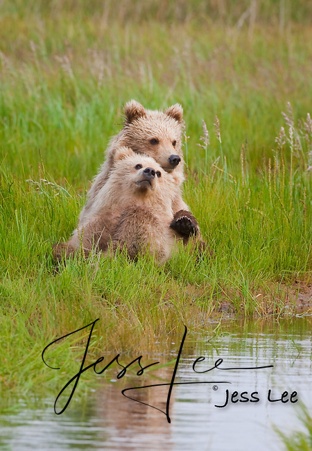 A photo of two Alaska Grizzly cubs sitting on the edge of a stream, with on leaning back on the other. Grizzly Bear or brown bear alaska Alaska Brown bears also known as Costal Grizzlies or grizzly bears