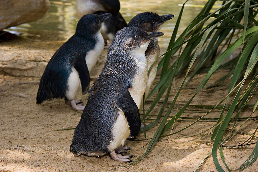Little penguins, Eudyptuca minor, are common in South Australia's coastal beaches and islands with suitable cover. Australia.