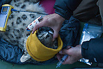 Snow Leopard (Panthera uncia) veterinarian, Ric Berlinski, keeping male's eyes moist during collaring, Sarychat-Ertash Strict Nature Reserve, Tien Shan Mountains, eastern Kyrgyzstan