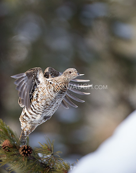 Occasionally one can find ruffed grouse perched in trees.