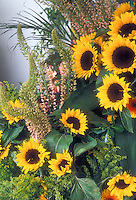 Sunflowers Helianthus 'Full Sun' with Eremurus in cut flower arrangement