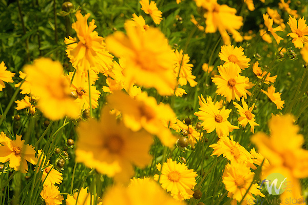 Harkness Memorial State Park. Yellow coreopsis.
