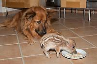 """Wildschwein, verwaistes, pflegebedürftiges, in Menschenhand gepflegtes, zahmes Jungtier spielt mit Hund, Hund schaut zu, wie der Frischling frisst, Freundschaft zwischen Hund """"Laska"""" und Wildtier, Wild-Schwein, leben gemeinsam im Haus, Schwarzwild, Schwarz-Wild, Frischling, Junges, Jungtier, Tierkind, Tierbaby, Tierbabies, Schwein, Sus scrofa, wild boar, pig"""
