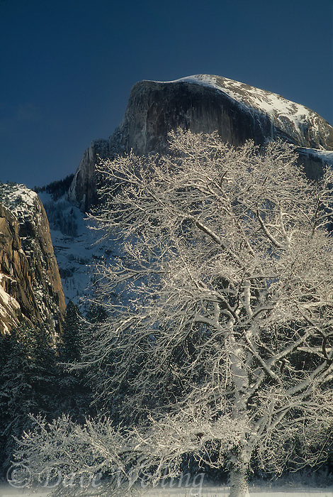762701047 a snow covered black oak quercus kelloggii sits in fog shrouded light framed by half dome during a clearing winter storm in yosemite national park in california