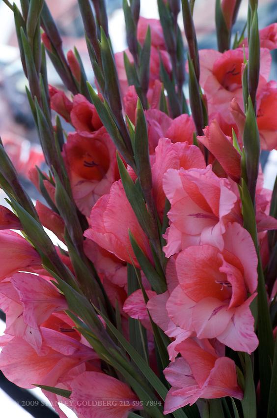 Rose Pink Gladiolus