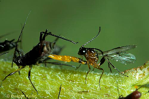 1W16-035z  Aphid - parasitic braconid wasp laying egg in aphid, Aphidius sp.
