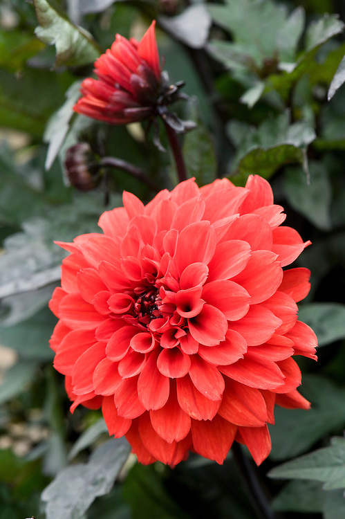 Dahlia 'Tally Ho Double', early September.