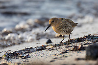 Alpen-Strandläufer, Alpenstrandläufer, Jugendkleid, Strandläufer, Calidris alpina, dunlin, Bécasseau variable
