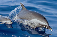 Pantropical spotted dolphin mom and baby, Stenella attenuata, riding boat wake, Kona Coast, Big Island, Hawaii, USA, Pacific Ocean