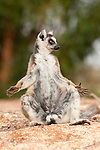 Ring Tailed Lemur, Lemur catta, Berenty National Park, Madagascar, sunbathing in early morning sunlight to warm up, showing primate hands