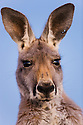 Australia,  NSW, Sturt National Park; female red kangaroo close-up, portrait (Macropus rufus) at dusk; the red kangaroo population increased dramatically after the recent rains in the previous 3 years following 8 years of drought