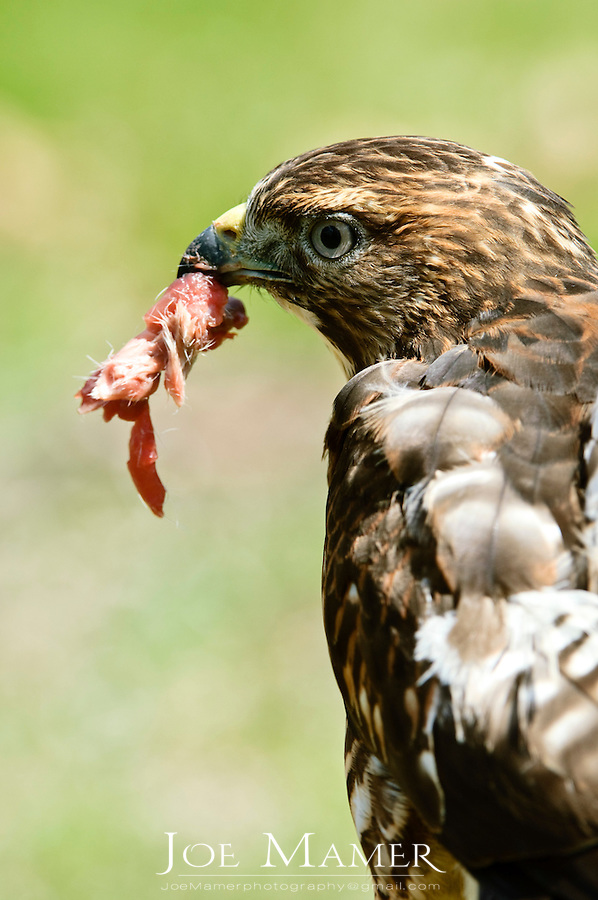 Broad winged hawk, Buteo platypterus, with food. Bird is eating quail meat. Captive bird