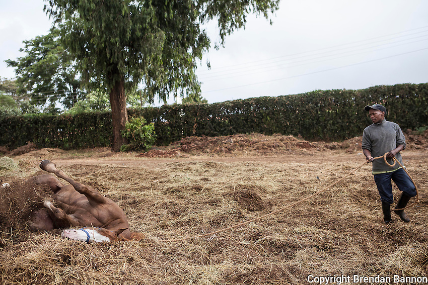 Jockey Daniel Tanui looked on as Star Attraction rolled in hay after morning exercise at Ngong Racecourse in Nairobi, Kenya. March 13, 2013. Photo: Brendan Bannon