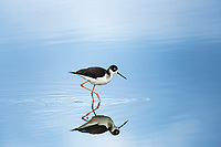 California. A black-necked stilt, Himantopus mexicanus, searches for food in the shallow wetlands of Merced Wildlife Refuge.
