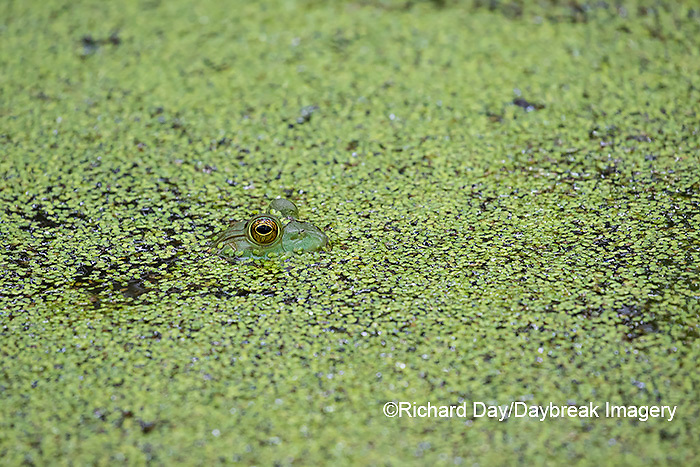 02471-00610 American Bullfrog (Lithobates catesbeianus) in pond with duckweed Marion Co. IL