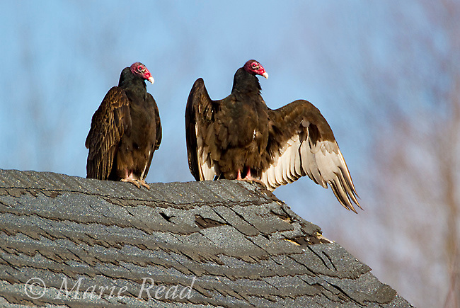 Turkey Vultures (Cathartes aura) two perched on old barn roof, one with wings outspread warming up in sun, New York, USA