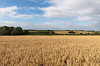 22.7.2020 Field of Winter Barley in Rutland  ©Tim Scrivener Photographer 07850 303986<br />      ....Covering Agriculture In The UK.