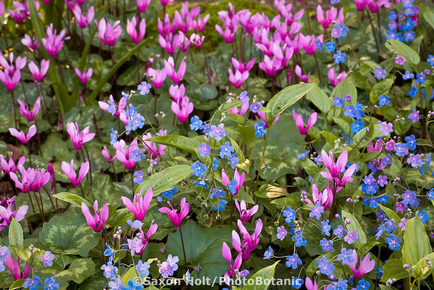 Pink flower cyclamen hederifolium and blue Omphalodes cappadocica in Filoli Woodland Garden