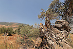 Israel, the Lower Galilee. An ancient Olive tree