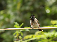 Stock photo: Cute looking red vented bulbul sitting on cable with blurred background of foliage.