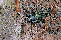 Großer Puppenräuber, mit erbeuteter Schmetterlings-Raupe, Beute, Räuber, Calosoma sycophanta, Calosoma sycophantha, forest caterpillar hunter, European calosoma beetle, ground beetle