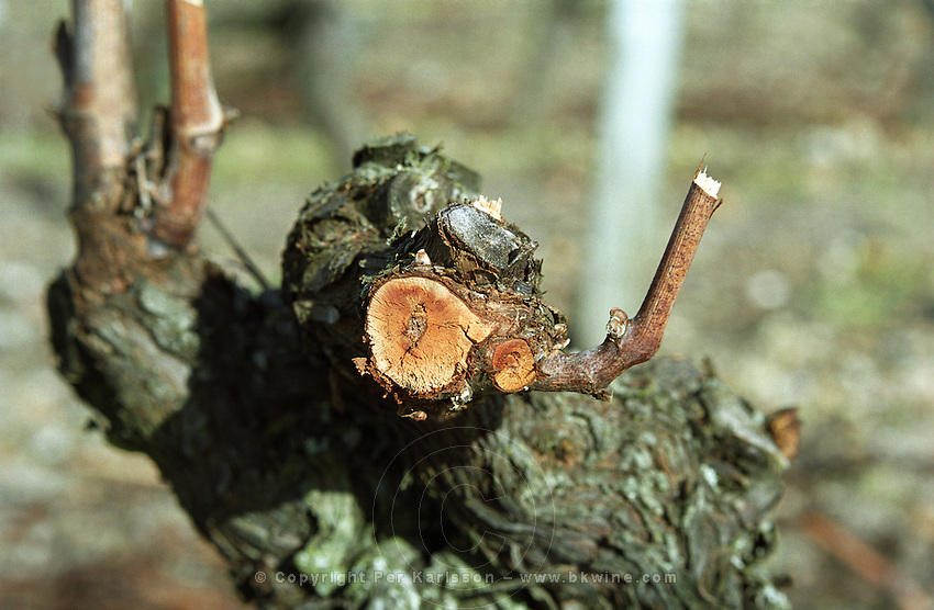 Pruning. Cabernet Franc. Bourgueil, Loire, France