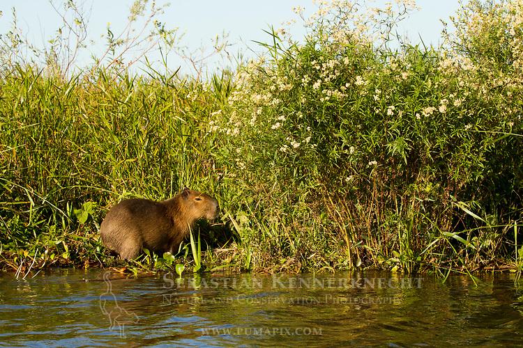 Capybara (Hydrochoerus hydrochaeris)  in marsh, Ibera Provincial Reserve, Ibera Wetlands, Argentina