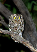 577990008 a wild western screech-owl otis kennicottii perches in tree at night in catalina state park tucson arizona