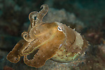 Golden cuttlefish, Sepia esculenta, all octopuses, cuttlefish, and some squid are venomous.