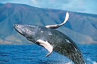 Pacific Ocean humpback whale calf, Megaptera novaeangliae, breaching off the west coast of Maui, Hawaii