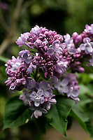 Syringa vulgaris 'Katherine Havemeyer', a double variety of common lilac
