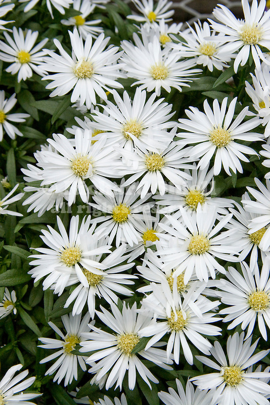 PUFF ASTER, ASTER HYBRID