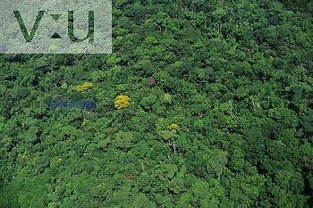 Aerial of Amazon rainforest with a few blooming trees, Pará, Brazil.