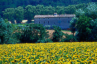 Overview of a field of sunflowers with a stone farmhouse in the backgound. France.