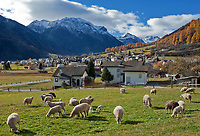 Schweiz, Graubuenden, Muenstertal, Muenster: Ortsansicht, Schafherde mit Laemmern | Switzerland, Graubuenden, Muenster Valley, Muestair: village, overview, flock of sheep