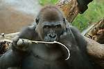 A Gorilla counts his twigs.